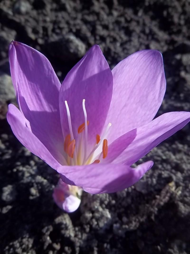 Colchicum Augisbulbs