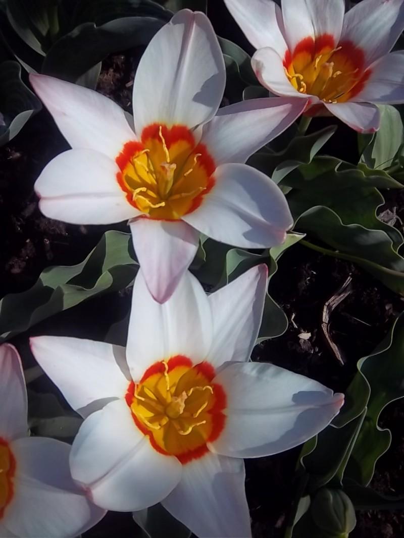 Tulipa Kaufmanniana Group Augisbulbs